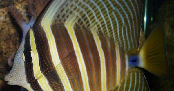Zebrasoma Veliferum Fish Pet Tang Pacific