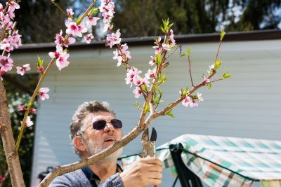 Peach Tree Pruning Learn The Best Time To Prune A Peach Tree Peach Trees Pruning Peach Trees Peach Tree Care