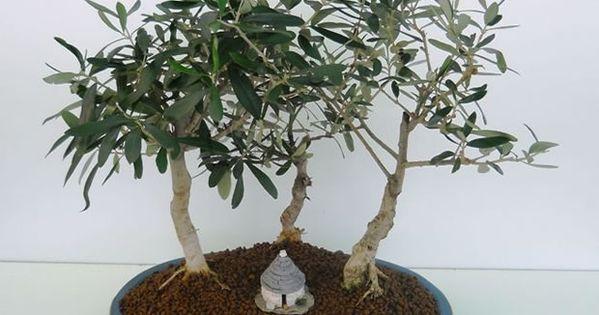 Cómo Hacer Tu Propio Olivo Bonsái Bonsai árboles Bonsai Olivos En Maceta
