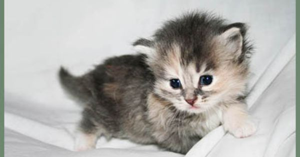 Hypoallergenic Siberian Cats And Kittens With Hypoallergenic Fur A Siberian Cat Breeder In Florida Siberian Cats For Sale Siberian Cat Breeders Cats