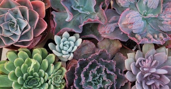6 echeveria succulent wholesale succulents plants and cacti. Black Bedroom Furniture Sets. Home Design Ideas