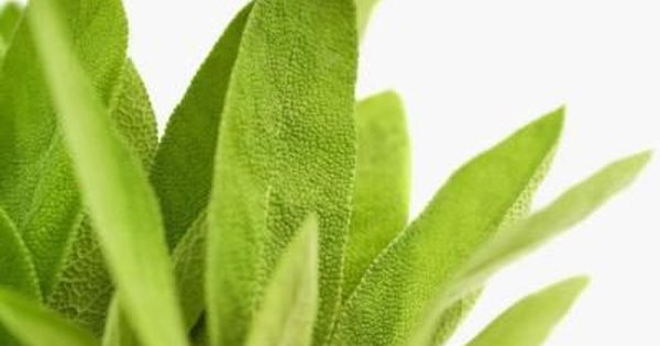 how to dry sage leaves yourself how to dry sage pineapple sage dry sage how to dry sage leaves yourself how