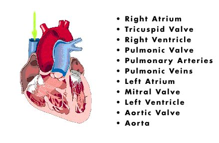 Blood Flow Of The Heart Diagram Worksheet The Pathology
