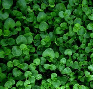 Growing Corsican Mint Ground Cover Plants Ground Cover Plants Shade Mint Plants