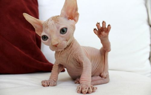 my son thought this hairless cat was a chihuahua. Haha. Same thing