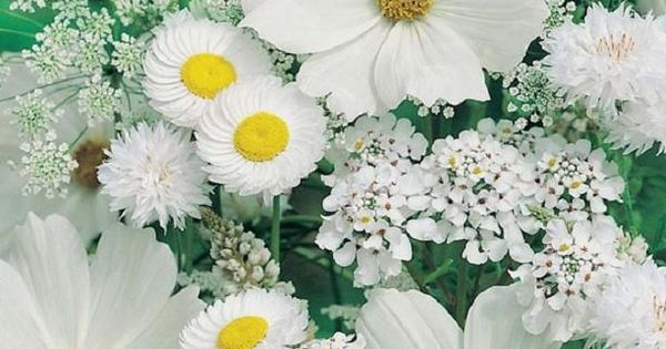 Cosmos, Allyssum, Queen Anne's Lace, Daisy, Scabiosa☽•✧•☆•✧•☾ ღ‿ ❀♥ ~ Sat 16th