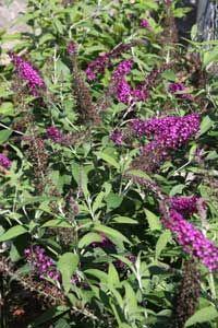 Butterfly Bush Pruning Schedule Butterfly Bush Butterfly Plants Butterfly Bush Care