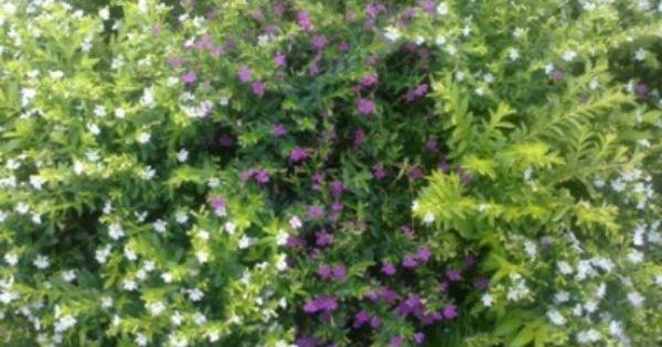 Gambar Rimbunan Bunga Taiwan Beauty Ungu Dan Putih Gambar Bunga Pinterest Taiwan