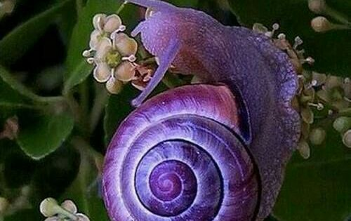 purple snail the different shades of purple on the shell