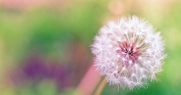 Dandelion flowers pinterest poes a le n y jardiner a for Jardineria leon