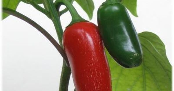 how to grow serrano peppers indoors