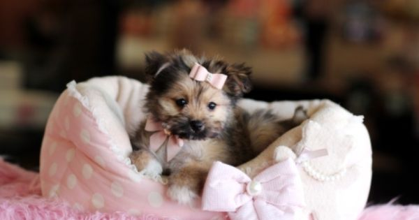 Deidra The Pomeranian Maltese Mix For Sale 954 353 7864 Www Teacuppuppiesstore Com Maltese Pomeranian With Images Morkie Puppies Fluffy Dogs Puppy Store