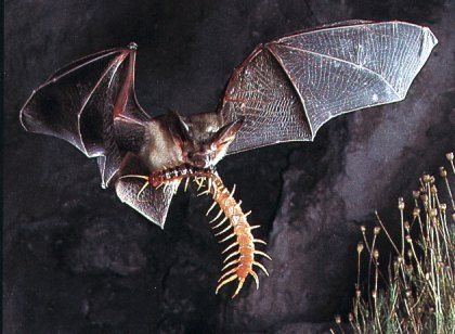 Beautiful Butterfly A Snake Skin Texture And Unique Wildlife Bat Species Bumblebee Bat Mammals