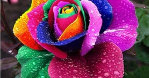 100 rare rainbow rose flower seeds your lover multi color for Multi colored rose bushes