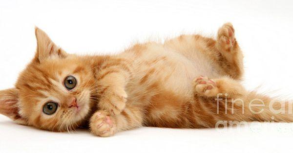 Red Tabby Kitten Tabby Kitten Kittens Ginger Kitten