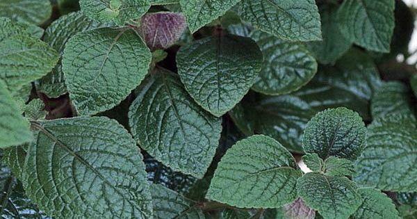 purple swedish ivy plant plectranthus purpuratus 4 pot ivy plants plants and houseplants. Black Bedroom Furniture Sets. Home Design Ideas