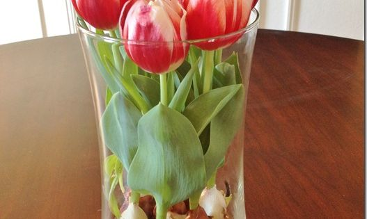 Sweet! How to force tulips to grow indoors. I'm totally doing this!