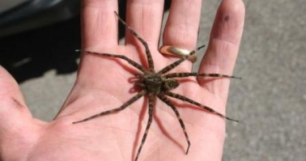 Wolf Spiders Dock Spiders Or Fishing Spiders A Comparison Plus My Meeting With A Giant Wolf Spider Wolf Spider Spider Wolf