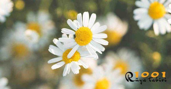 Ruyada Papatya Gormek Toplamak Beyaz Ve Sari Papatya Tarlasi 2020 Papatyalar Cicek Ruya