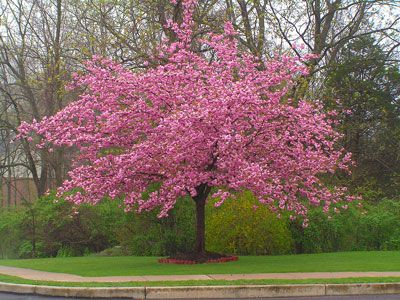 Kwanzan Cherry Tree Flowering Cherry Tree Flowering Trees Weeping Cherry Tree