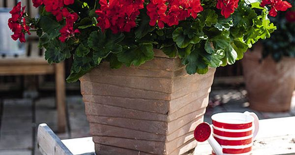 Amazing New Annuals for 2015: Geranium 'Big EZEE Red' Unlike older varieties