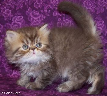 Chocolate Kitten Pictures Chocolate Persians Bicolors Tabby Himalayans Cat Breeds Pretty Cats Kitten Pictures