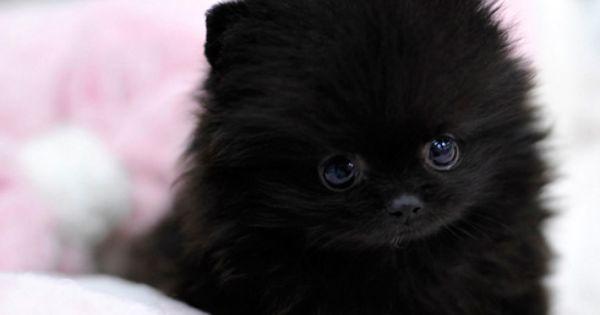 black teddy bear pomeranian - photo #37