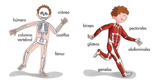 Huesos Y Msculos Del Cuerpo Humano INFANTIL El Cos Hum