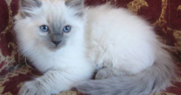 Cats Kittens For Sale In Birmingham Ebay Classifieds Kijiji Page 1 Kittens Ragdoll Kitten Fluffy Cat