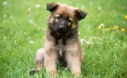 Pup 15 Gr0020 01 C Kimball Stock German Shepherd Puppy Sitting On Grass German Shepherd Puppies Puppy Sitting Shepherd Puppies