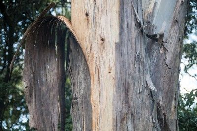 Eucalyptus Tree Bark Learn About Peeling Bark On A Eucalyptus Tree Eucalyptus Tree Eucalyptus