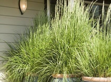 MOSQUITO REPELLENT!! Plant lemon grass in big pots for the patio... it