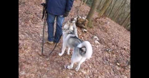 Www Cani Training Orientierung Des Hundes Ohne Leine Antijagdtraining Hund Zieht An Der Leine Youtube Hunde Jagd Training
