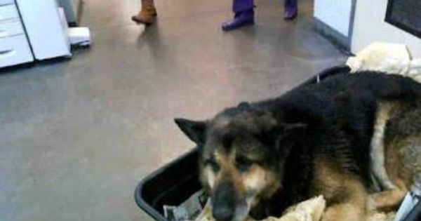 Advocates Rally Around German Shepherd Brought Into Shelter In Wheelbarrow German Shepherd Animal Lover Pet Adoption