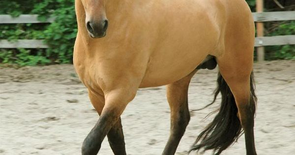 "Kiger Stallion - real life ""Spirit"""