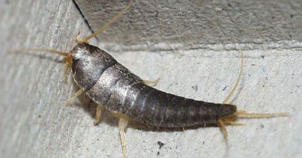 Silverfish Extermination Silverfish Insects Moth
