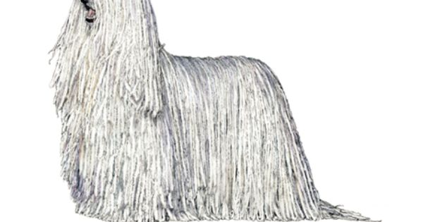 Komondor personality: Dignified, brave, protective ... Four Jays German Shorthaired Pointers