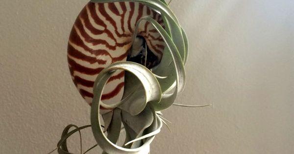 Air plant xerographica hanging large pearl nautilus for Nautilus garden designs