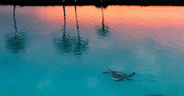 Sea turtles swimming in the bay at sunset. seaturtle sunset hawaii