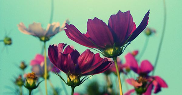 Cosmos-prettiest cut flower, ever!