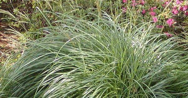 Cortaderia selloana 39 pumila 39 dwarf pampas grass 4 5 for Short ornamental grass varieties