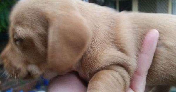 Mini Dachshund Puppies Aus Wide Flights Choc Creams Dachshund Puppies Dachshund Puppy Long Haired Dachshund Puppy Miniature