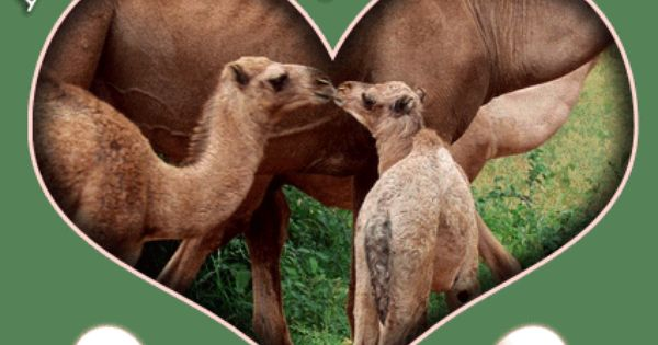 Happy Hump Day Camel Clip Art hump Images and Graphics