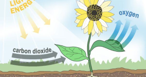A Simple Diagram Of Photosynthesis Photosynthesis Photosynthesis Lessons Science Lessons Middle School