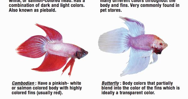 Different Color Varieties Of Betta Fish Parrot Care