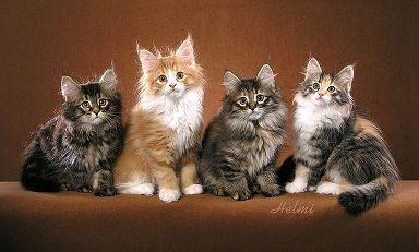 What Color Is My Cat Norwegian Forest Cat Norwegian Forest Cat Breeders Forest Cat