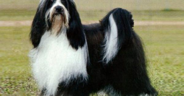 Tibetan Terrier Tibetaanse Terrier Terrier Honden