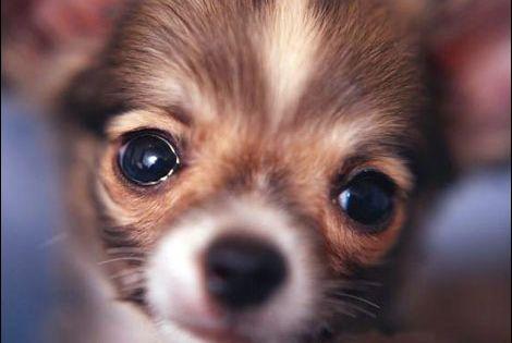 Download Free Cute Chihuahua Desktop Wallpapers Anjing