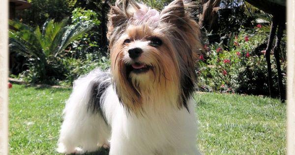 Biewer Terrier Eljemelo Yorkies Biewer Terriers We Breed Um Coz We Luv Um Durbanville Biewer Yorkie Yorkie Yorkshire Terrier Breeders