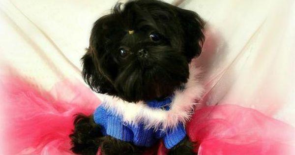 Shih Tzu Puppies Imperial Shihtzu Puppies By Donnas Darling Shihtzu Shih Tzu Puppy Shih Tzu Imperial Shih Tzu